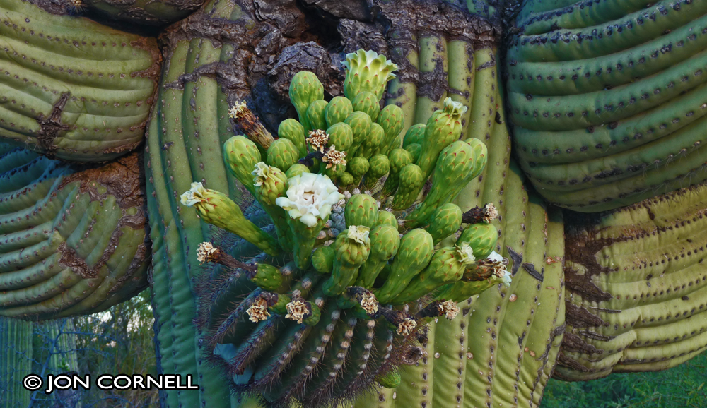 Picture of a cactus in bloom for Photography