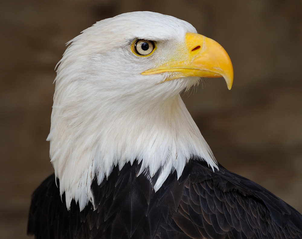 Picture of an American Bald Eagle